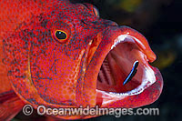 Wrasse cleaning inside fish mouth photo