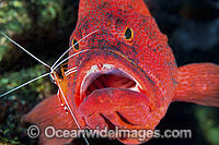 Shrimp cleaning Tomato Grouper photo