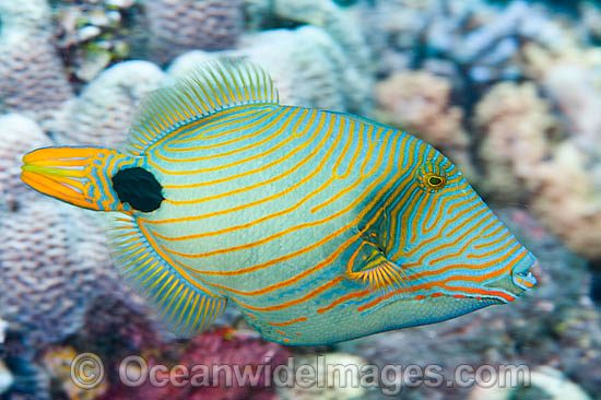 Orange-lined Triggerfish (Balistapus undulatus). Also known as Striped Triggerfish or Red-lined Triggerfish. Found throughout the Indo-West Pacific, including the Great barrier Reef, Australia.