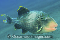 Yellow-margin Triggerfish photo