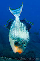Triggerfish blowing sand in search for food photo