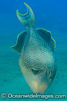 Yellow-margin Triggerfish Pseudobalistes flavimarginatus photo