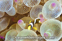 Clarks Anemonefish juvenile photo