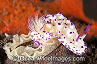 Nudibranch laying egg ribbon