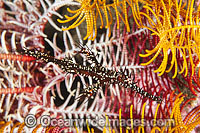 Harlequin Ghost Pipefish amongst Crinoid Photo - Gary Bell