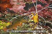 Shrimp cleaning Cardinalfish Photo - Gary Bell