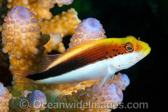 Freckled Hawkfish (Paracirrhites forsteri), resting on hard coral. Highly variable in colour for each region. Found throughout the Indo-West Pacific, including the Great Barrier Reef, Australia.