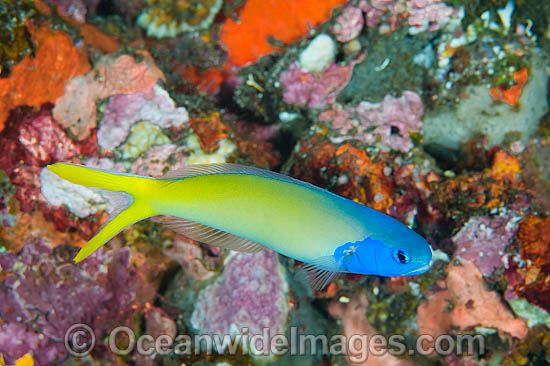 Blue-head Tilefish (Hoplolatilus starki). Also known as Blue Tilefish. Found throughout the Indo-West Pacific, including the Great Barrier Reef, Australia. Photo - Gary Bell
