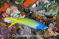 Blue-head Tilefish Hoplolatilus starki Photo - Gary Bell