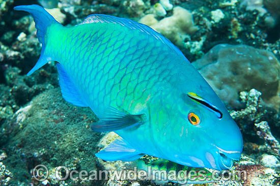 Ember Parrotfish (Scarus rubroviolaceus). Found throughout the Indo-West Pacific, including the Great Barrier Reef, Australia. Photo taken at Tulamben, Bali, Indonesia. Within the Coral Triangle. Photo - Gary Bell