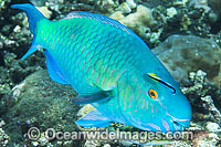 Ember Parrotfish Scarus rubroviolaceus photo