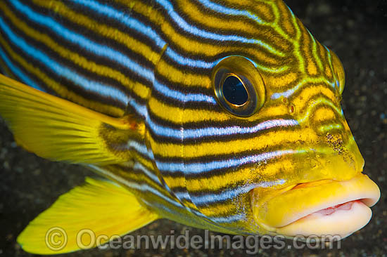 Ribbon Sweetlips (Plectorhinchus polytaenia). Also known Striped and Yellow-ribbon Sweetlips. Found throughout the Indo-Pacific. Photo taken at Tulamben, Bali, Indonesia. Within the Coral Triangle. Photo - Gary Bell
