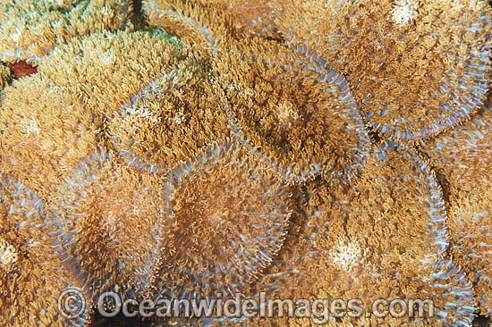 Corallimorpharian (Discosoma cf. rhodostoma). Anatomically like hard coral, but resembles anenome in appearance. Often seen carpeting reef flats and slopes of Indo Pacific. Can inflict a painful sting on humans. Tulamben, Bali, Indonesia. Coral Triangle.