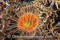 Tube Anemone Ceranthid sp. Photo - Gary Bell