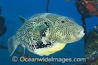 Scribbled Pufferfish Arothron mappa Photo - Gary Bell