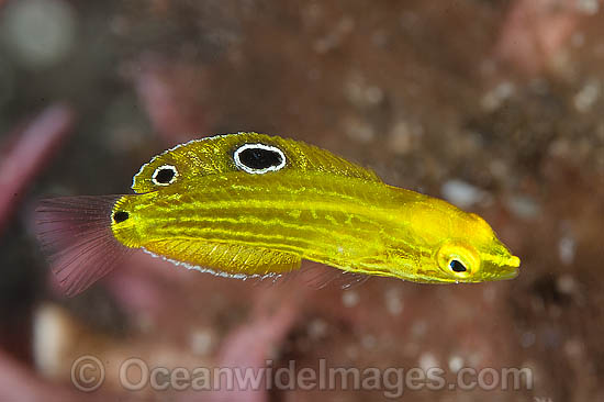 Yellow Wrasse (Halichoeres chrysus), juvenile. Found throughout the West Pacific. Photo taken at Tulamben, Bali, Indonesia. Within the Coral Triangle. Photo - Gary Bell