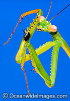 Praying Mantis Tenodera sp. Photo - Gary Bell