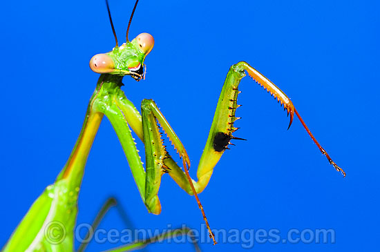 Praying Mantis (Tenodera sp.). Photo taken at Coffs Harbour, New South Wales, Australia. Photo - Gary Bell