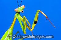 Praying Mantis Photo - Gary Bell