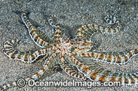 Mimic Octopus Thaumoctopus mimicus Photo - Gary Bell