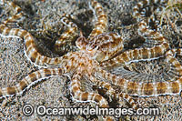 Mimic Octopus Photo - Gary Bell