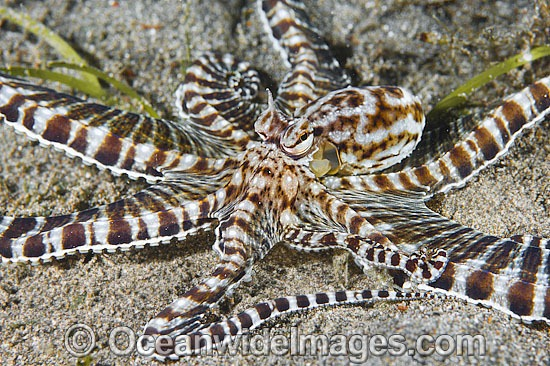 Mimic Octopus (Thaumoctopus mimicus). This octopus is a master of cryptic camouflage, often mimicking marine animals. Found throughout the Indo-West Pacific. Photo taken off Anilao, Philippines. Within the Coral Triangle. Photo - Gary Bell