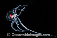 Paralarval Octopus Photo - Gary Bell