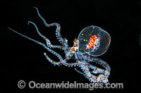 Paralarval Octopus Wunderpus photo