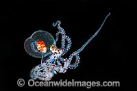 Paralarval Octopus Wunderpus or Abdopus Photo - Gary Bell