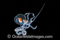 Paralarval Octopus Abdopus Photo - Gary Bell