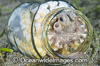 Veined Octopus hiding in glass jar Photo - Gary Bell