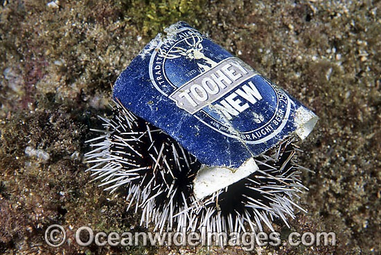 Marine pollution rubbish trash garbage - discarded beer can resting sitting on a Sea Urchin. Pacific Ocean, Australia