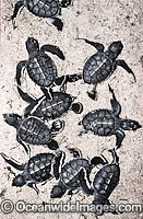 Turtle hatchlings going to sea Photo - Gary Bell