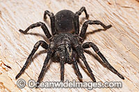 Burrowing Spider female Photo - Gary Bell