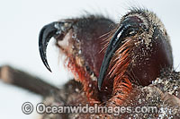 Burrowing Spider fangs Photo - Gary Bell