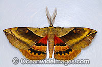 White-stemmed Wattle Moth Photo - Gary Bell