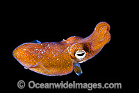 Bottletail Squid Sepiadarium kochi swimming Photo - Gary Bell