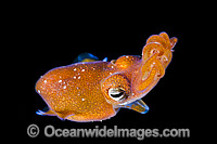 Bottletail Squid swimming