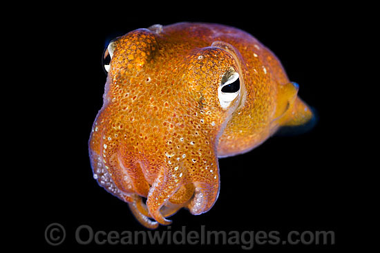 Bottletail Squid (Sepiadarium kochi), swimming in mid water at night. Found throughout the Indo-Pacific. Photo was taken off Anilao, Philippines. Within the Coral Triangle. Photo - Gary Bell