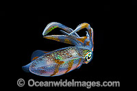Bigfin Reef Squid swimming Photo - Gary Bell