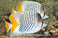 Cross-hatch Butterflyfish Chaetodon xanthurus Photo - Gary Bell