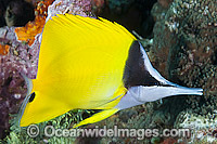 Long-nose Butterflyfish Forcipiger flavissimus Photo - Gary Bell