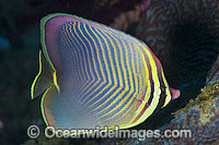 Pacific Triangular Butterflyfish Chaetodon triangulum Photo - Gary Bell