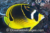 Racoon Butterflyfish Chaetodon lunula photo