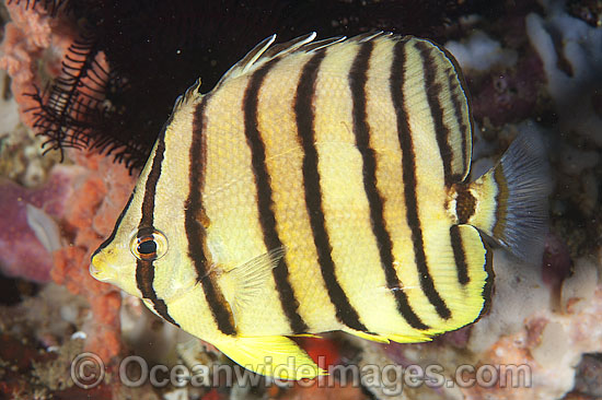 Eight-banded Butterflyfish Chaetodon octofasciatus photo