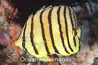 Eight-banded Butterflyfish Chaetodon octofasciatus Photo - Gary Bell