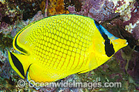 Latticed Butterflyfish Chaetodon rafflesii Photo - Gary Bell