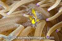 Clarks Anemonefish juvenile Photo - Gary Bell