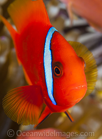 Tomato Anemonefish (Amphiprion frenatus), in a Sea Anemone. Also known as Bridled Anemonefish. Found throughout South-East Asia, western Pacific to Japan. Photo taken in Philippines. Within the Coral Triangle. Photo - Gary Bell