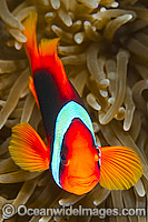 Tomato Anemonefish Amphiprion frenatus Photo - Gary Bell